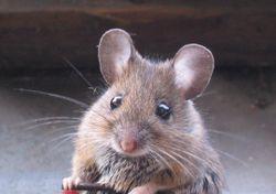 Knaagdieren - Muizen